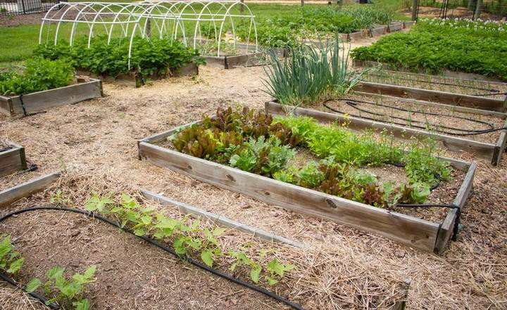 Two long rows of raised garden beds with vegetables.